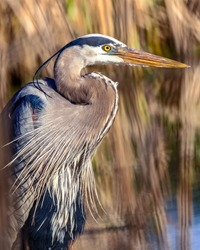 Great blue heron on a pond in Minnesota