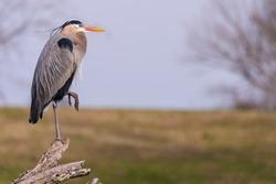 Great Blue Heron on Log Watching