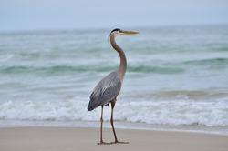 Great Blue Heron on the Padre Island National Seashore on the Texas Gulf Coast