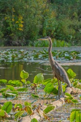 Great blue heron perched on log in pond with aquatic plants
