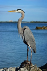 Great blue heron posed on a rock at the beach