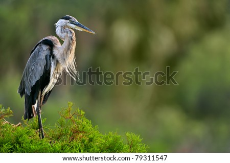 great blue heron poses on cypress tree in florida wetland