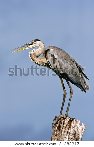 great blue heron posing on tree stump against blue sky in florida wetland and with lots of feather detail
