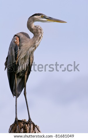 great blue heron posing on tree stump against blue sky with lots of feather detail