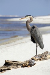 Great Blue Heron Resting on Florida Beach