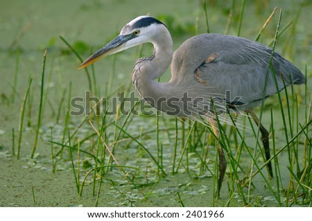 great blue heron stalking for fish in wetland near everglades ecosystem