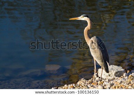 Great blue heron standing by the water's edge. Great text-friendly space,