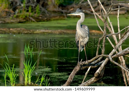 Great Blue Heron standing on some dead branches looking out over a pond.