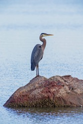 Great Blue Heron stands on small rock