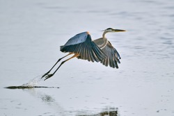 great blue heron takes flight from florida wetland pond