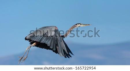 Great Blue Heron taking off in flight.