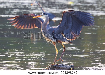 Great Blue Heron, Victoria, BC, Canada