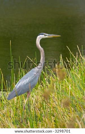 great blue heron walks along shore of pond