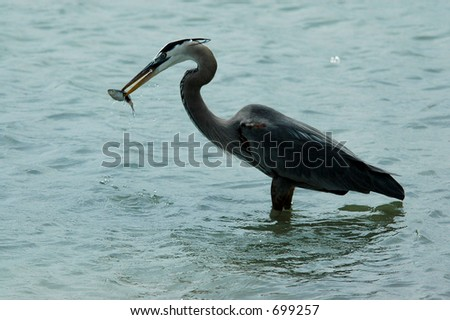 Great Blue Heron with catch of the day