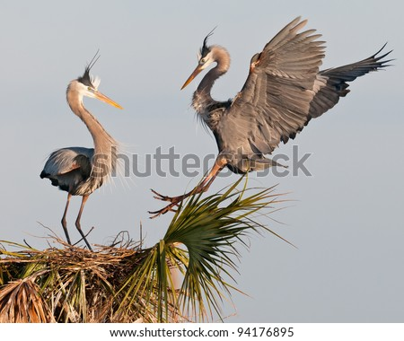 Great blue herons at the Ritch Grissom Memorial Wetlands (often referred to as the Viera Wetlands) in Melbourne, Florida