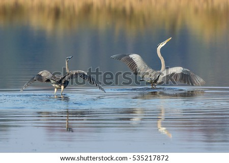 great blue herons fighting