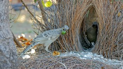 great bowerbird displays objects to another bird at its bower