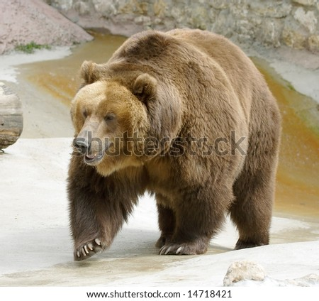 Great brown bear. russian nature, wilderness world. - stock photo