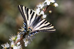 great butterfly ridding on blackthorn flowers. Black and white arthropod