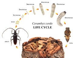 Great Capricorn Beetle, Cerambyx cerdo, (Cerambycidae) is one of the main stem pests of oak trees. Development stages isolated on a white background