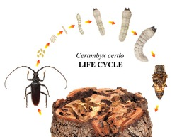Great Capricorn Beetle, Cerambyx cerdo, (Cerambycidae) is one of the main stem pests of oak trees. Life cycle. Development stages isolated on a white background