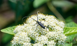 Great capricorn beetle (Cerambyx cerdo) is Oak pest. Close-up lLong-horned beetle (family Cerambycidae) sits and eats pollen white flowers Leatherleaf viburnum (Viburnum rhytidophyllum Alleghany)