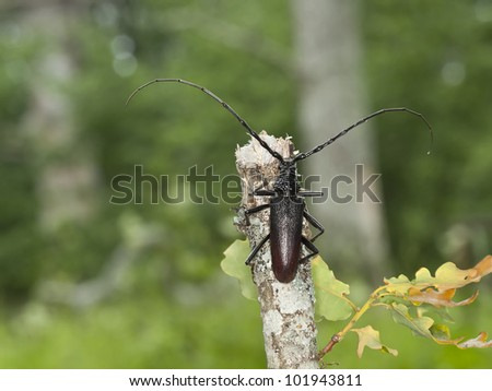 Great capricorn beetle (Cerambyx cerdo) sitting on oak twig, this beetle is endangered in Sweden