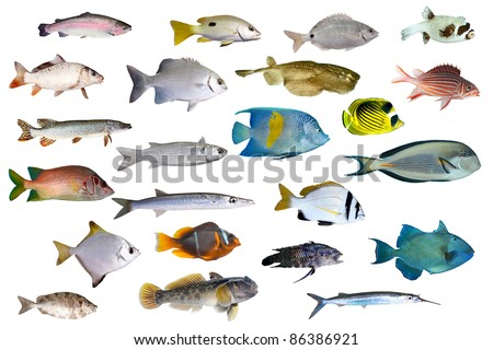 Great collection of a tropical fish on a white background.  River and sea fishes