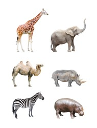 Great collection of big african mammals. Giraffe, elephant, camel, rhinoceros,  hippopotamus and zebra isolated on a white background.