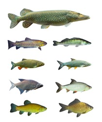 Great collection of freshwater fish on white background.