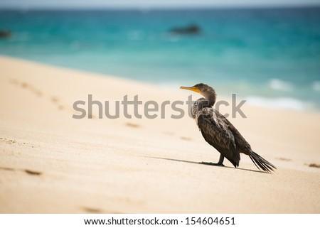 Great Cormoran Bird on Sunny Beach Near Cabo San Lucas, Mexico