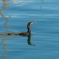 Great cormoran  eating a fish in the sea