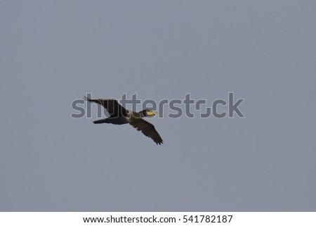 great cormorant #541782187