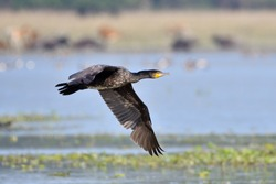 Great Cormorant Bird Is Flying Over The Lake