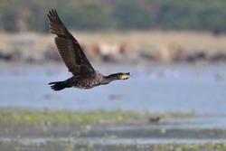 Great Cormorant Bird Is Flying Over The Wetland.