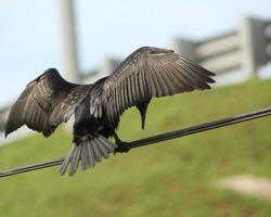 Great Cormorant/Black Shag,(Phalacrocorax Carbo) spreading wings