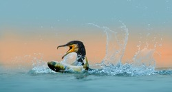 Great Cormorant foraging in the lake