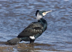 Great Cormorant, (Phalacrocorax carbo), adult in breeding plumage standing at water's edge, Galway, Eire.