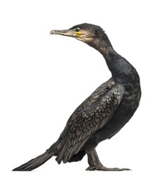 Great Cormorant, Phalacrocorax carbo, also known as the Great Black Cormorant against white background