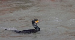 Great cormorant (Phalacrocorax carbo) bird floating in the water flow of river ganga in Haridwar.