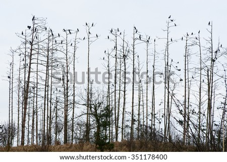 Great Cormorant, Phalacrocorax carbo in breeding colony i K?ty Rybackie, Poland Stock fotó ©