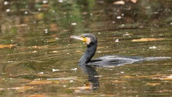 Great Cormorant (Phalacrocorax carbo) in lake water. The bird catches the fish it feeds on. Black water from the canal and dead leaves floating on the surface. Sunny autumn day. November in France