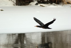 great cormorant Phalacrocorax carbo on snow winter river in flight