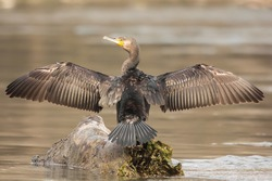 Great cormorant (Phalacrocorax carbo) or great black european cormorant at the river Drava standing on the tree log and drying feathers with wings wide spread, detailed feathers photo