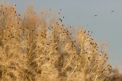 Great cormorant (Phalacrocorax carbo) or great black european cormorant roosting place, large cormorant flock roosting on the top of white trees with cormorants in flight over the river