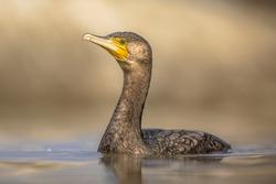 Great cormorant (Phalacrocorax carbo) swimming in water of Lake Csaj, Kiskunsagi National Park, Pusztaszer, Hungary. February. This large black bird is found in Europe, Asia, Africa, Australia.