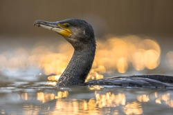 Great cormorant (Phalacrocorax carbo) with golden backlight sunset reflection in Lake Csaj, Kiskunsagi National Park, Pusztaszer, Hungary. February. This large black bird is found in Europe, Asia, Afr