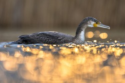 Great cormorant (Phalacrocorax carbo) with golden backlight sunset reflection in Lake Csaj, Kiskunsagi National Park, Pusztaszer, Hungary. February. This large black bird is found in Europe.