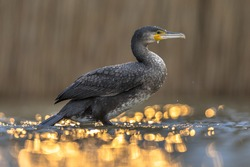 Great cormorant (Phalacrocorax carbo) with golden backlight sunset reflection in Lake Csaj, Kiskunsagi National Park, Pusztaszer, Hungary. February. This large black bird is found in Europe, Asia,