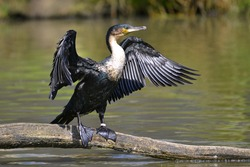 Great Cormorant (Phalacrocorax lucinus) above water on trunk tree with opened the wings